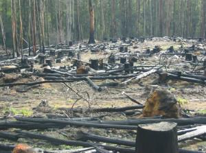 spring firewood after logging