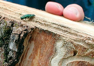 insects in firewood bark