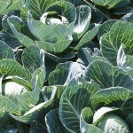 Use Fireplace Ashes to Grow Cabbage