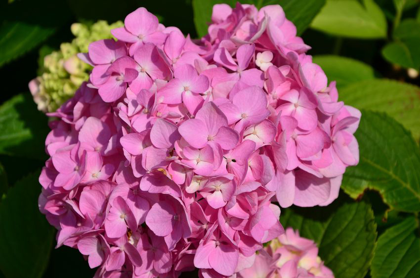 Use Fireplace Ashes to Change the Color of Hydrangeas
