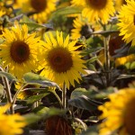 Use Fireplace Ashes to Grow Sunflowers