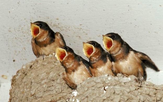 Birds and bird nests in chimney