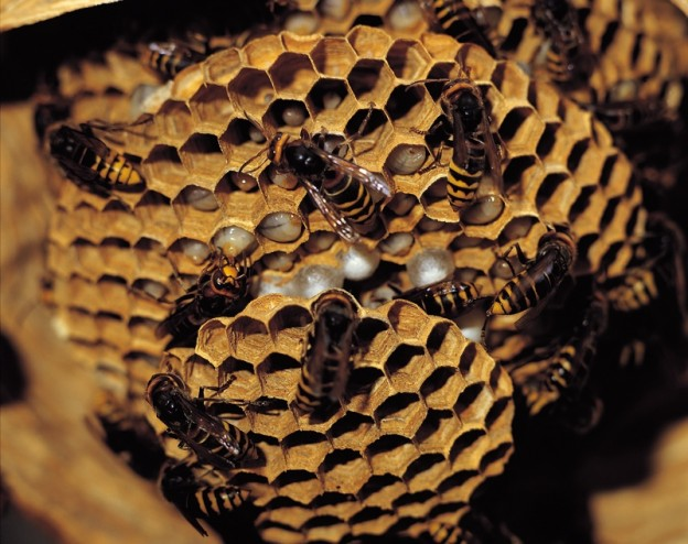 remove bee hives and wasp nests
