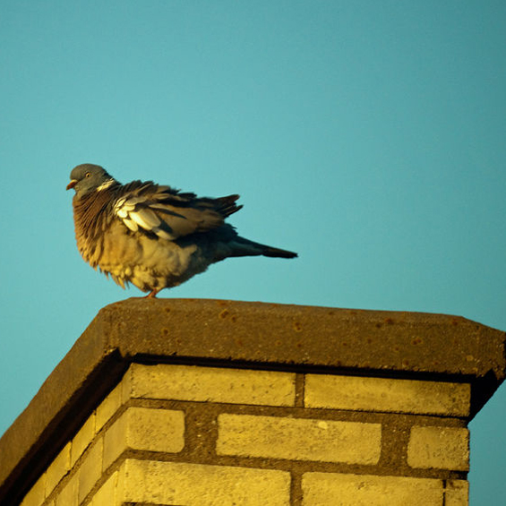 Dangers of bird droppings in chimney and fireplace